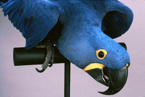 Hyacinth Macaw Print