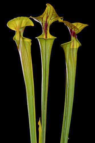 Yellow Trumpet Pitcher Plant Print