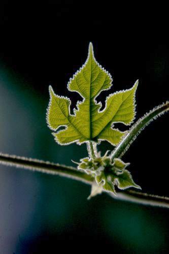 Cucurbitaceae Print