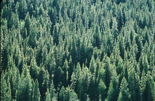 Spruce forest Print
