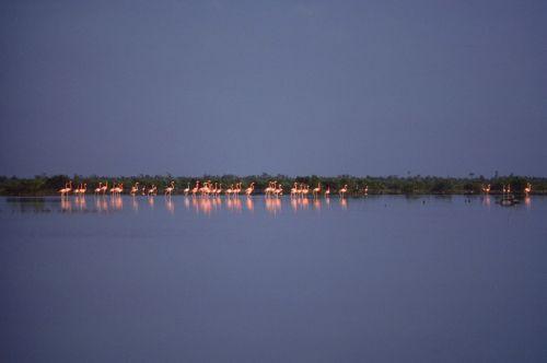 Flamingo flock Print