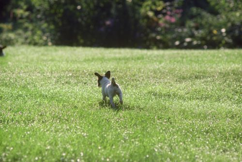 Jack Russell Terrier puppy Print
